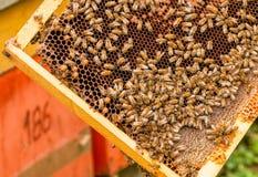 Bienen in den Kämmen Lizenzfreie Stockfotos