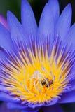 Bienen in den Lotos-Blumen Stockfoto