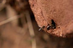 Bienen in der Aktionsmakrophotographie Lizenzfreie Stockfotos
