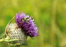 Bienen in der Distel - Partei Stockbild
