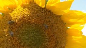 Bienen, die über die Sonnenblume kriechen Nahaufnahme Gegen den blauen Himmel stock video