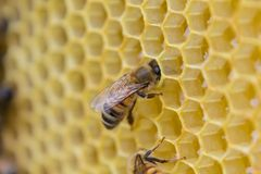 Bienen, die auf einer Bienenwabe, innerhalb des Bienenstocks sitzen Sechseckiger Hintergrund Stockfoto