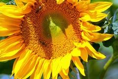 Bienen, die auf gelber Sonnenblume sitzen Lizenzfreie Stockfotografie