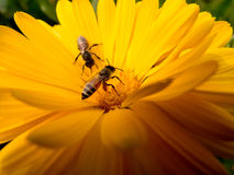 Bienen, die Blütenstaub montieren Stockfoto