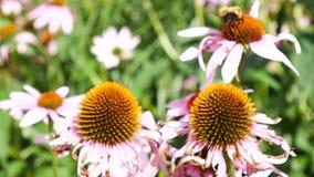 Bienen, die an Echinacea officinalis Blumen arbeiten stock video footage