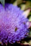 Bienen, die eine Blume bestäuben Stockbilder