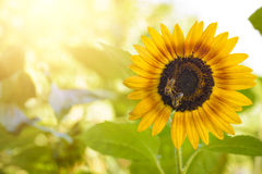 Bienen, die eine Sonnenblume bestäuben Stockfotografie