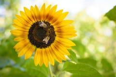 Bienen, die eine Sonnenblume bestäuben Lizenzfreies Stockfoto