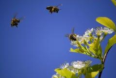 Bienen, die um Blumen fliegen Stockfotos