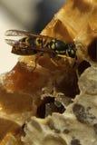 Bienen, die vom harten Winter kommen Lizenzfreies Stockbild