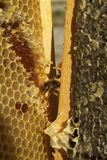 Bienen, die vom harten Winter kommen Stockbilder