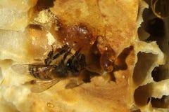 Bienen, die vom harten Winter kommen Stockfoto