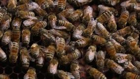 Bienen in einem Bienenstock - Abschluss herauf Schuss stock video