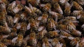 Bienen in einem Bienenstock - Abschluss herauf Schuss stock footage