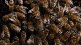 Bienen in einem Bienenstock - Abschluss herauf Schuss stock video footage