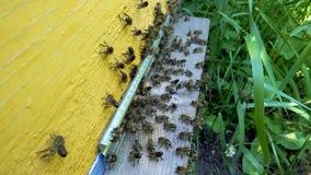 Bienen am Eingang zum Bienenstock stock video