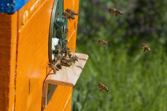 Bienen fliegen Stockfotografie