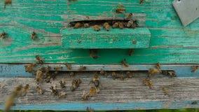 Bienen fliegen aus dem Bienenstock heraus, um Honig zu sammeln stock video footage