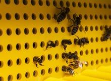 Bienen fliegen in den Bienenstock mit dem Blütenstaub Stockfotografie