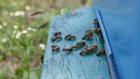 Bienen fliegen am Eingang zum Bienenstock stock video footage
