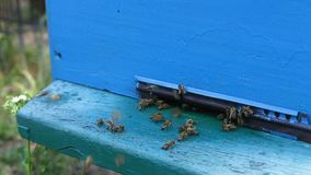 Bienen fliegen am Eingang zum Bienenstock stock video