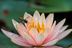 Bienen-Fliegen in Lotus Stockfotos