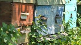 Bienen fliegen vom Bienenstock, schließen herauf Ansicht der Arbeitsbienen Bienenhaus im Waldbienenvolkfliegen um Bienenstock stock footage