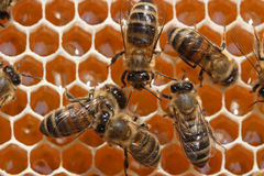Bienen hinter Arbeit. Lizenzfreies Stockfoto