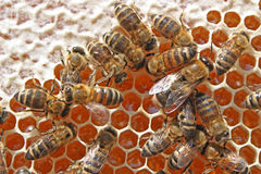 Bienen hinter Arbeit Stockfotos
