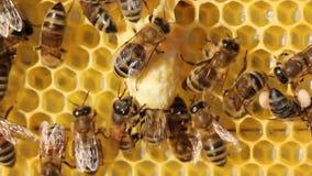 Bienen, ihre Larven und Kokons, Kokons Königinnen von Bienen stock video footage