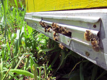 Bienen im Bienenhaus Stockbilder