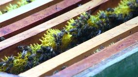Bienen im Bienenstock auf Bienenwaben stock video footage