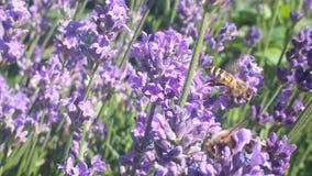 Bienen im Lavendel Stockfotos