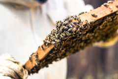Bienen im Wachsrahmen stockfoto
