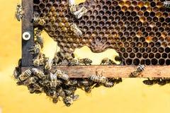 Bienen im Wachsrahmen stockbilder