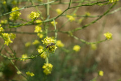 Bienen-Insekt auf gelber Blume Stockbilder