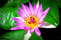Bienen in Lotus stockbilder