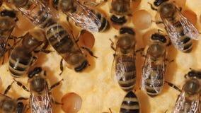 """Bienen nehmen Sorgfalt von Larven †""""ihre zukünftige Generation stock video"""