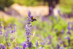 Bienen riechen die Blumen morgens lizenzfreies stockbild