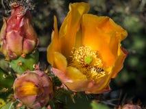 Bienen sammeln Blütenstaub an blühendem Pricky-Birnen-Kaktus Laguna-Küsten-Wildnis-Park Lizenzfreie Stockfotos