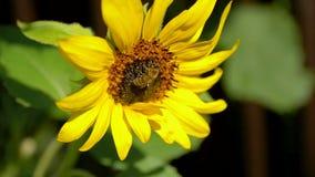 Bienen sind auf großem Sonnenblumenblütenstaub stock video