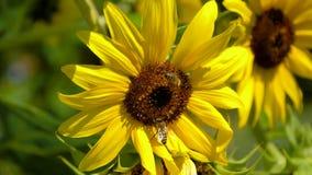 Bienen sind auf großem Sonnenblumenblütenstaub stock video footage