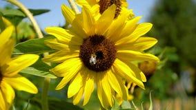 Bienen sind auf großem Sonnenblumenblütenstaub stock footage