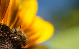 Bienen-Sonnenblume stockfotografie
