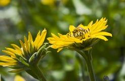 Bienen-trinkender Nektar vom gelben Gänseblümchen Stockbild