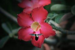 Bienen- und Adeniumblume Lizenzfreie Stockfotografie