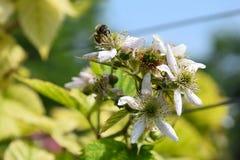 Bienen und Blumenhimbeere Stockfotos