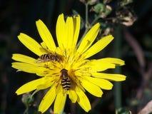 Bienen und eine Fliege Lizenzfreies Stockfoto