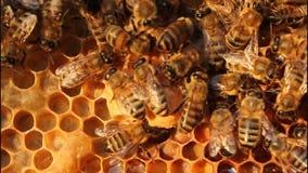 Bienen-und Kokons Queens-Bienen stock footage