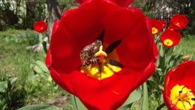Bienen und Tulpen stockfoto